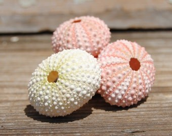 Beach Decor - Pink/White Sea Urchins set of 4 - Wholesale Seashells - Jewelry - Beach Wedding