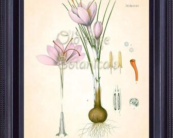 Kohler 8x10 Botanical Antique Art Print CROCUS SATIVUS L. Saffron Crocus Vintage Plate Pink Purple Flower botanical Room Wall Decor  BF0728