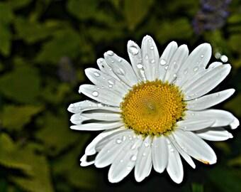 Summer Daisy