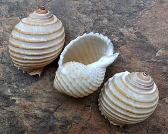 Costate Tun Seashells (3 pcs.) - Tonna Allium