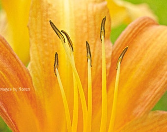 Flower Photography, Macro Photography, Fine Art Photography - Orange Day Lily
