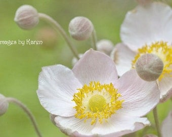White Flower Photography, Fine Art Photography - Pink and White Anemone