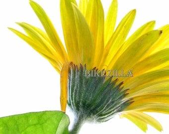 Yellow Gerbera Daisy #5