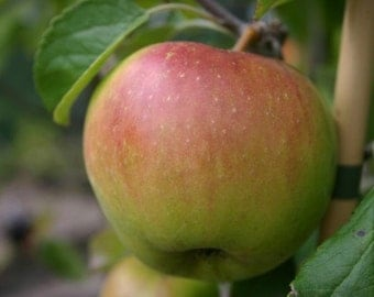 25 Seeds Malus domestica ,Apple Seeds, Golden Delicious Apple Seeds.
