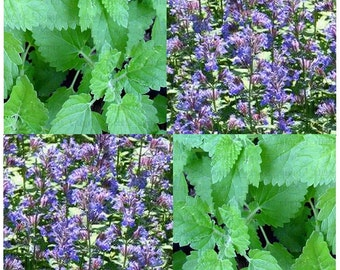 Catnip seeds - CAT KITTY Kitten Treat - Cat Candy - Can Be Brewed Into Tea - Only 70 - 75 Days