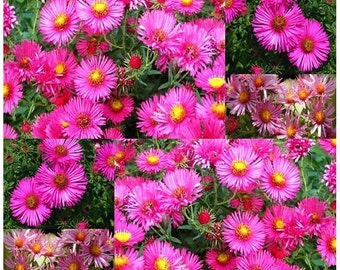 Pink New England Aster Seeds - Aster novae-angliae Seed ~ Perennial blooms Zone 3 - 9