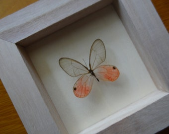 Real Cithaerias Pireta  Framed - Taxidermy - Collectibles - Home Decoration