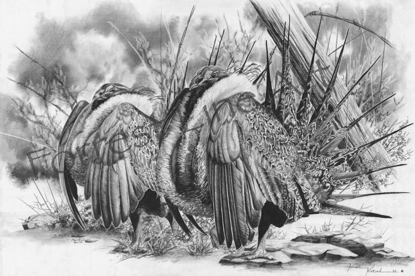 Sage grouse drawing - photo#24
