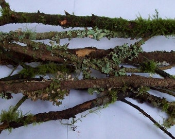 20+ Moss and Lichen Covered Twigs for Bonsai, Terrariums, Wreaths, Crafts, and Rustic Decor