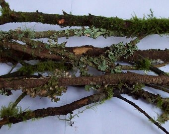 50+ Moss and Lichen Covered branches for wedding and event centerpieces and displays