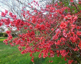 "Flowering Quince Bush/shrub 6 UNROOTED 6-10"" CUTTINGS Make Jellies"