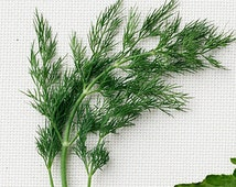 1000 dill seeds, herb seeds, heirloom seeds, culinary herb seeds, culinary seeds