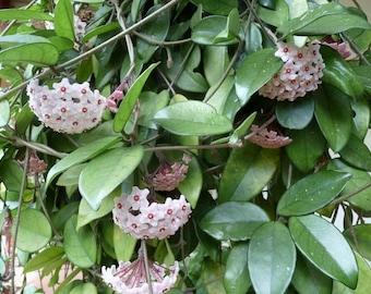Hoya Carnosa Unusual & Unique Wax Live Plant - Indoor Outdoor - Orchid Companion Plant