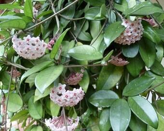 Hoya Carnosa Unusual & Unique Wax Plant - Indoor Outdoor Live Cutting - Orchid Companion Plant