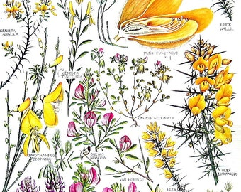 Tree Lupin, Common Gorse, Restharrow, Hairy Greenwood - 1965  British Flowers Vintage Book Plate P21