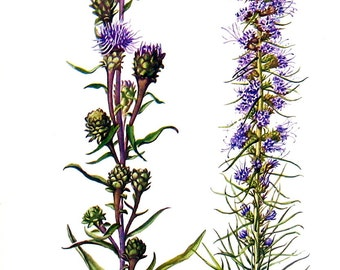 Scarious Blazing Star, Blazing Star Flowers - Botanical Print - 1954 Vintage Book Page - 11 x 8
