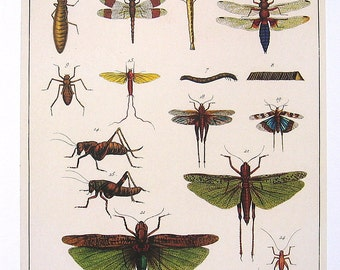 Various Insects, Insect Larvae, Grasshoppers - Seba Book Print - Cabinet of Natural Curiosities - 13 x 9