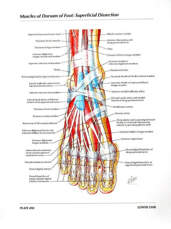 anatomy print muscles of dorsum of foot superficial, Cephalic Vein
