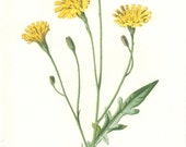 Autumnal Hawkbit, 5 Wild Flower Pages Botanical Digital Instant Download, 300 DPI, Graphic, Collage, Printable, Vintage 1880, Hulme