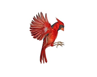 Cardinal - Archival Quality Print