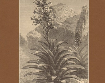 1897 Antique Matted Engraving - Aechmea Paniculata in Bloom