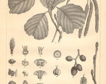 1890 Leaves, Cones and Inflorescences of the Black Alder Antique Engraving