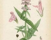 ANTIQUE 1905 BOTANICAL BOOK Plate 96 Stachys Palustris (Marsh Groundwort)