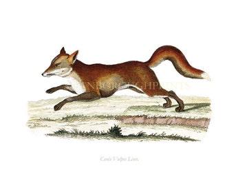 The English Red Fox Wildlife Drawing Watercolor Print. Red Fox Animal Painting Nature Wildlife Decor. Fox Nature Study Print