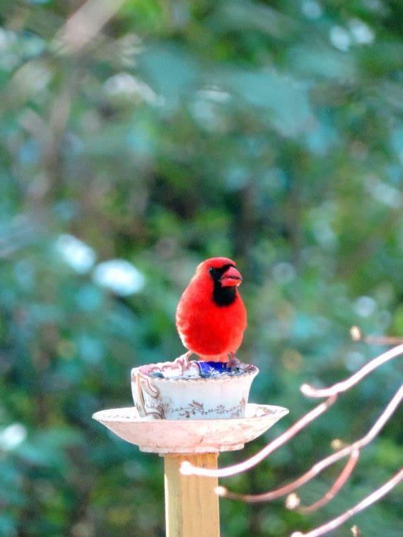 Red Cardinal Photograph Cottage Decor Bird Photograph 8x10