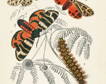 Tiger Moths, 19th Century Moths Picture, Picture of Moths, Vintage Moths, Caterpillars, Spring