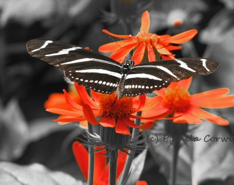Monarch Butterfly Photo Black White And Orange Pop Of Color