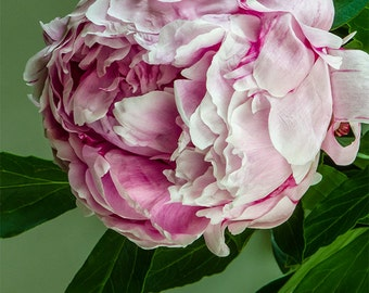 Blush Pink and White Peony with Green Leaves #052809, fine art flower photography, nature photograph, wall art print