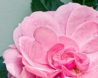 Pink Royal Bonica Rose with Green Leaves, fine art flower photography, home decor, wall art