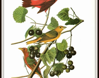 Audubon Bird Art Print, Summer Tanager, 19th Century Audubon Art, 1970s Vintage Lithograph, Nature Illustration, Wall Art, Home Decor