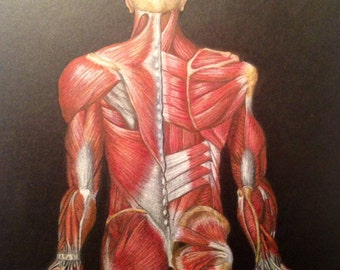 Human posterior musculature illustrated