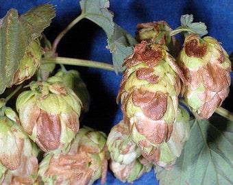 """Newport Beer Hops Vine - Humulus - Grow your own Beer! - 4"""" Pot"""