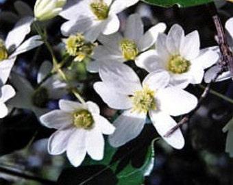 "Clematis Sweet Autumn Vine - Clematis paniculata - Fragrant - 2.5"" Pot"