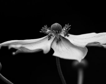 Flower Photography, Flowers, Summer, Close Up, Garden Photography, Nature, Fine Art Black and White Photography, Wall Art, Home Decor