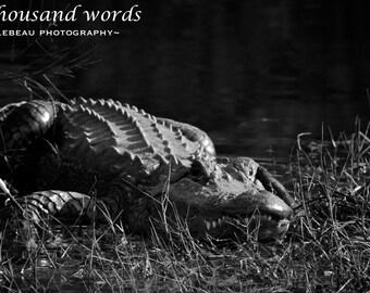 American Alligator - photographic print