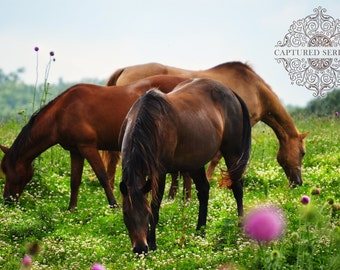 Canvas of 3 beautiful horses grazing