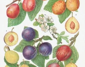 Vintage Botanical Print Plums fruit blossoms plum kitchen 1960s original decor wall art print bookplate