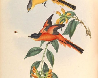 Grey-chinned minivet (Pericrocotus solaris)  exotic bird print illustration from Birds of Asia John Gould reproduction print BA2-05