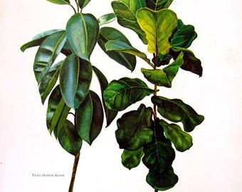 Ficus Plants - Botanical Print - 8 x 11 -1975 Vintage Book Page