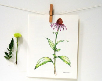Flower Print - Purple Coneflower - 1989 Vintage Page 10 x 8