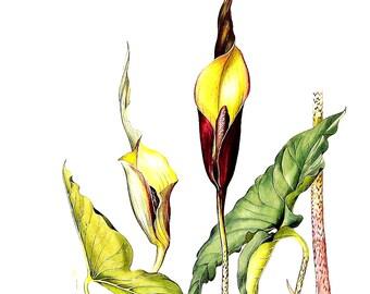 Exotic Plant Print  - Urospatha sagittifolia - Margaret Mee 1989 Vintage Book Page 11 x 9