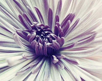 Botanical photography print purple chrysanthemum flower wall art - Purple Star