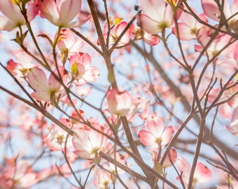 Pink Dogwood Photography - Nature Photo - Flower Photography - Pink - Blue Skies - Springtime Fine Art Photography