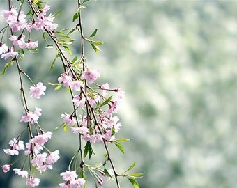 The world blooms, in pink and green sakura spring Fine art photograph, archival print 8x12