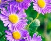 Organic New England Aster Heirloom Flower Seeds