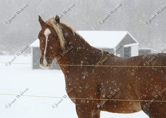 Yearling Young Horse Pony Foal Playing in the Snow Fine Art Photography Print